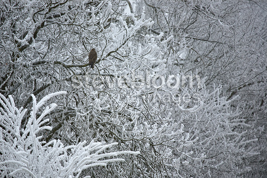 Western Steppe Buzzard in a frozen tree Dombes France (Western Steppe Buzzard)