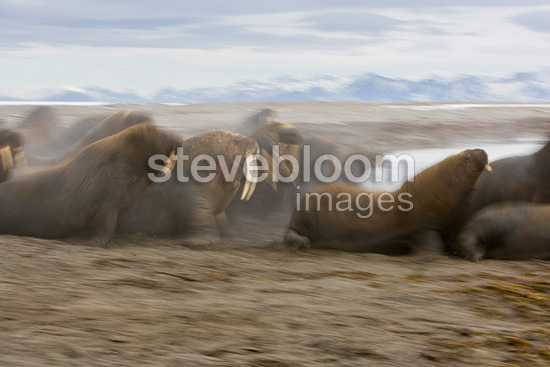 Walrus group moving towards water Svalbard (Walrus)