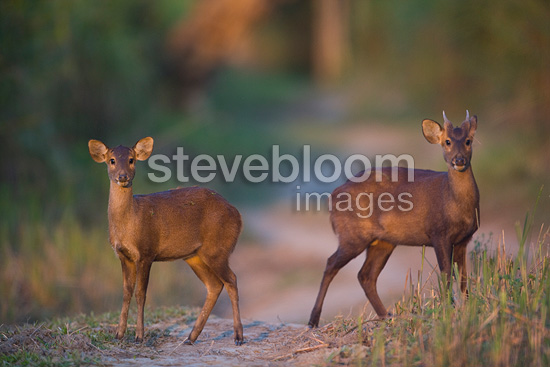 Young male and female hog deer Kaziranga India (Hog Deer)