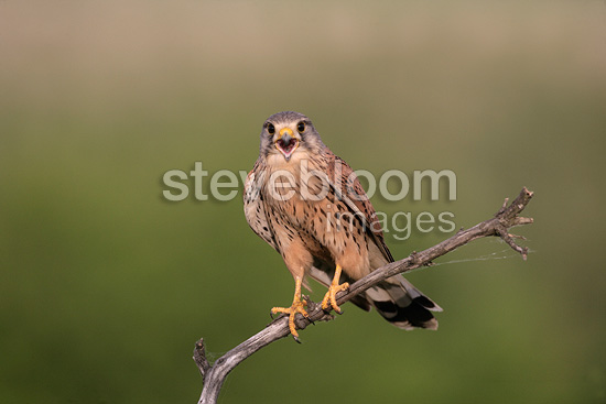 Male Common Kestrel on a branch, Hungary