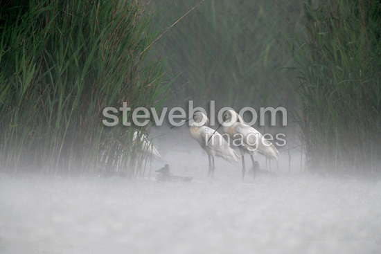 Spoonbills walking in water in the rain Hungary (Eurasian Spoonbills)