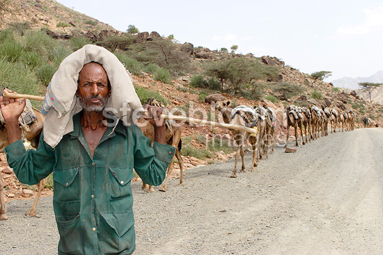 Camel caravan carrying salt from the Danakil Ethiopia (Dromedary)