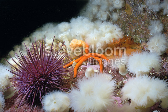 Sea urchin and sea star on a sea bottom Vancouver Strait (Royal tile starfish)