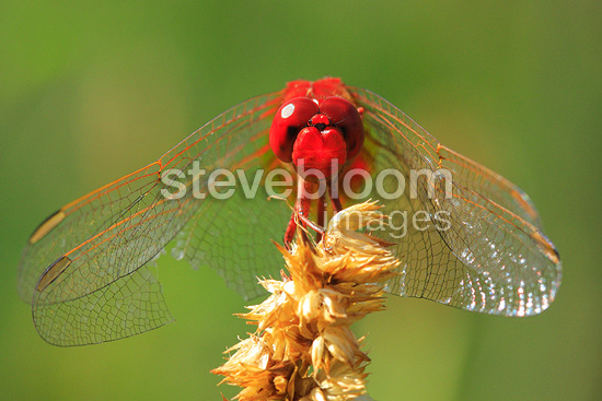 Portrait of a male Red Darter Vaucluse France