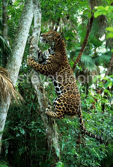 Jaguar Pantaneiro VS Leoa do Serengeti 503385-BS1