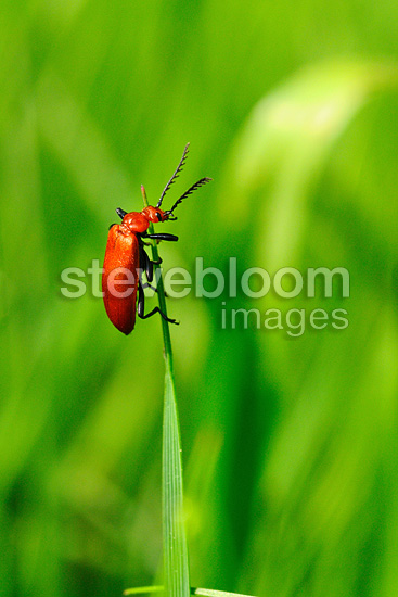 Coleoptere climbing on a blade of grass Touraine France