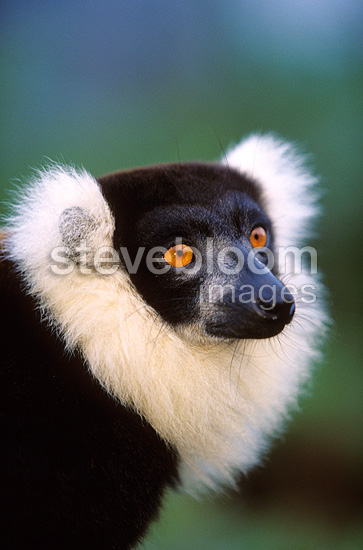 Portrait of a Ruffed Lemur Madagascar (Ruffed lemur )