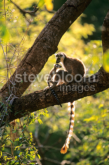 Adult and young ring tailed lemur on a branch Madagascar (Ring-tailed lemur)