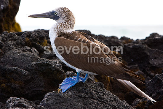 Blue footed Booby on a coastal rock Isabela Island Galapagos (Blue-footed Booby)