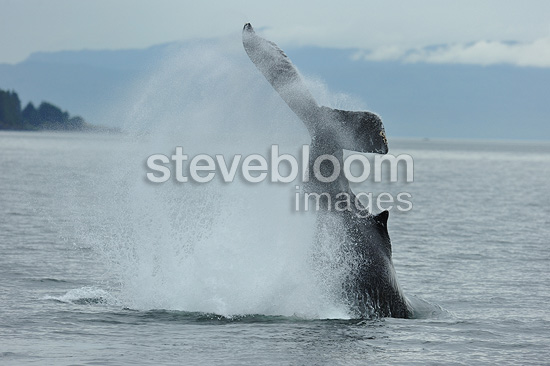 Humpback whale tail throw Frederick Sound Alaska (Humpback whale)