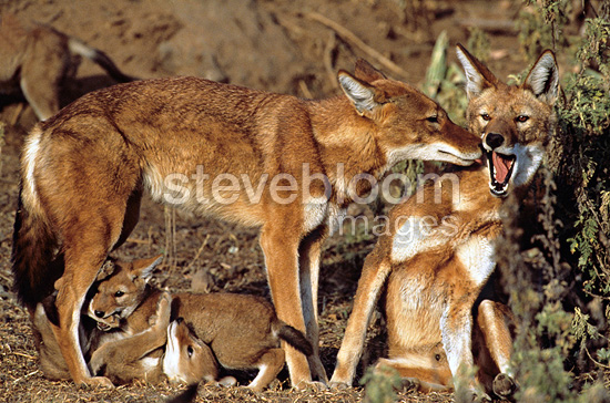 Social contact between Simian jackals and youngs Ethiopia  (Simian jackal)