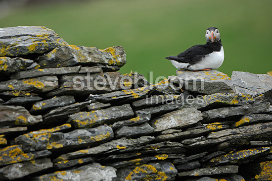 Atlantic Puffin on a dry stone wall Scotland  (Atlantic Puffin)