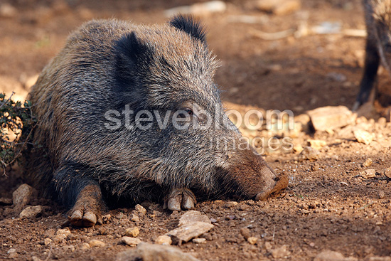 Wild Boar lying in the earth Franche-Comté France  (Wild boar)