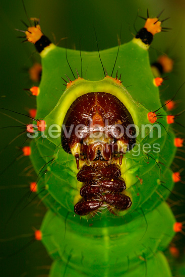 Diurnal Butterfly caterpillar in a private breeding