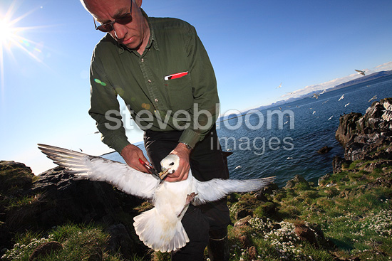 Ornithologist tagging a northern fulmar Iceland (northern fulmar)