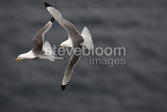 Kittiwake pursuing an other in flight Iceland  (Kittiwake)
