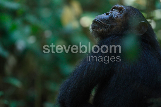 Male Eastern common chimpanzee looking up Tanzania (Chimpanzee)