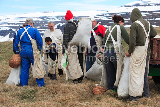 Pickers of down from common Eider on an island Iceland  (Common Eider )