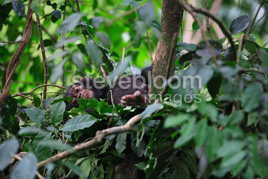 Young Eastern common chimpanzee in its nest Tanzania (Chimpanzee)