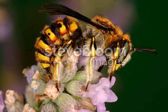 Cotton Bee gathering nectar on an inflorescence Sieuras