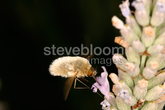 Bee Fly gathering nectar on a flower Sieuras Ariège