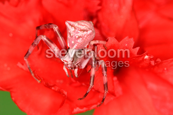 Crab Spider at steal on a flower in a shrubland (Spider)