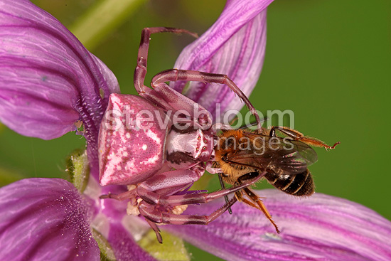 Crab Spider digesting a Bee on a flower Montolieu (Spider)
