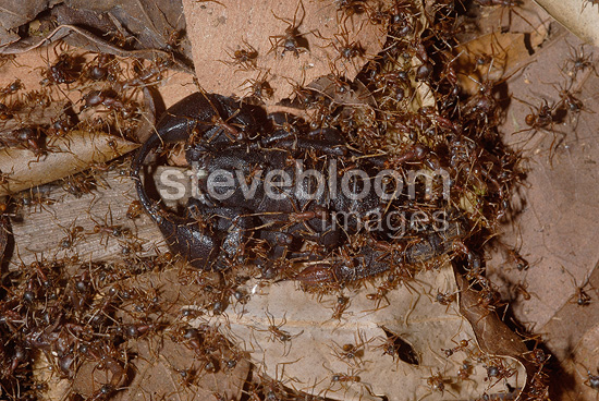 Legionnaire ants attacking a Scorpion French Guiana  (scorpion)