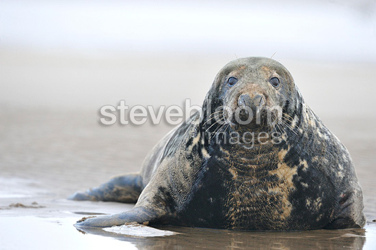 Bull Grey seal lying on the beach Lincolnshire GB (Gray seal)