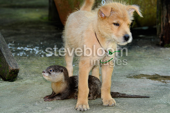 Young Dog and young Otter adopted in a village Sabah (otter)
