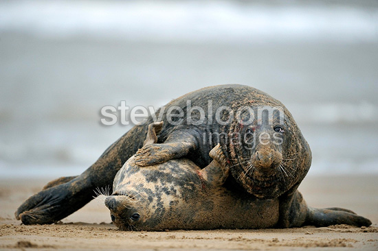 Grey seals mating on the beach Lincolnshire GB (Gray seal)