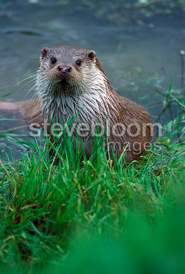 European otter on the bank of a river GB  (European otter)