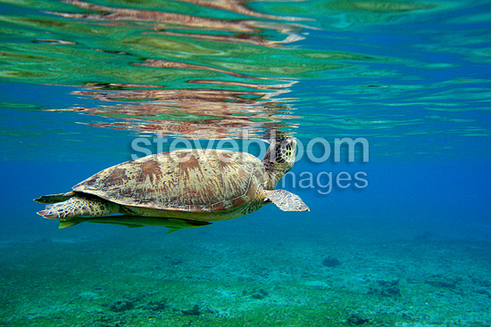 Green Turtle breathing at the surface Mayotte (Green sea turtle)