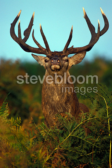 Stag Red deer among the ferns facing the photographer (Red deer)