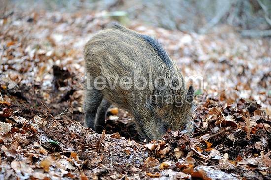 Young Wild boar looking for food in the soil Belgium (Wild boar)