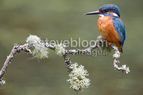 Male European Kingfisher standing standing on a branch (Kingfisher)