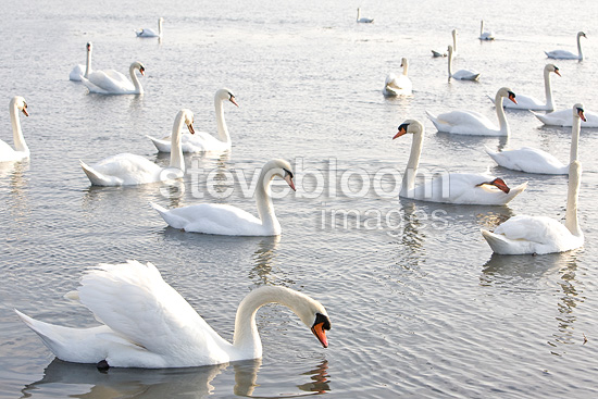 Colony of Mute Swans swimming on a lake France (Mute Swan)