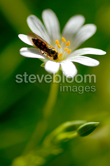 Syrphid Fly feeding on a Mouse-ear flower
