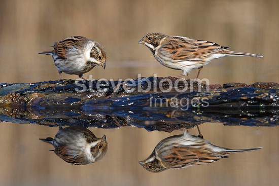 Pair of Reed buntings drinking in winter (Reed Bunting)