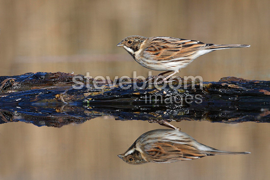 Male Reed bunting drinking in winter (Reed Bunting)