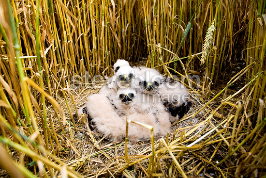 Young Montagu's harriers in nest in a field of cereal France (Montagu's Harrier)