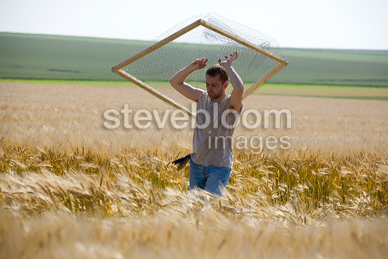 Installation of a fence to protect Busard in a cereal field