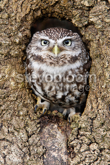 owl in a in tree trunk great britain owl