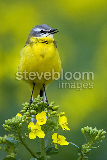 Ashy-headed Wagtail singing on a plant Turnip France  (Ashy-headed Wagtail)