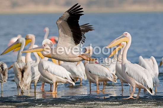Great White Pelicans in Nakuru lake Kenya (Great White Pelican)