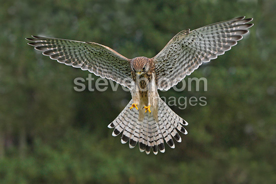 Female Kestrel landing, UK