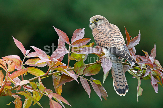 Female Common Kestrel on a branch in autumn, UK