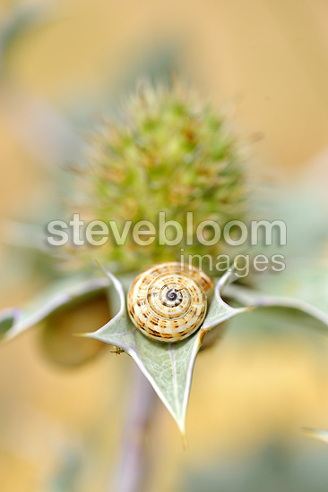 Snail sleeping on a Thistle on a sand dune France (snail)