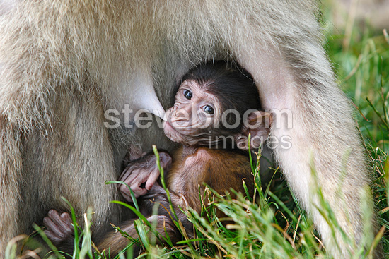 Young Barbary macaque sucking at its mother Alsace France (Barbary macaque)