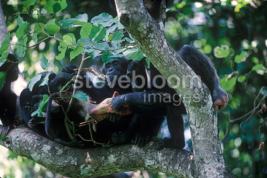 Group of Chimpanzees eating a Western Red Colobus caught (Chimpanzee)